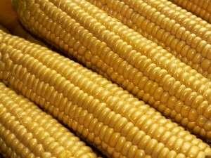 Кукуруза – отличная культура для украинских земель